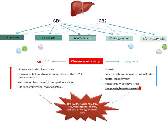 CBD News Liver Fibrosis